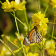 Butterfly perched on yellow flower — Stock Photo #41203079