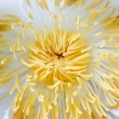 Stock Photo: Closeup of lotus pollen