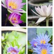 Stock Photo: Group of beautifull lotus flower