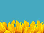 Sun Flower Petal and blue color background — Stock Photo