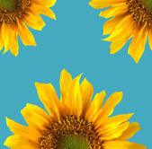 Sun Flower Isolated — Stock Photo
