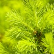 Green fir-tree — Stock Photo