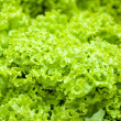 Lettuce salad — Stock Photo