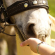 Feeding a horse - Stock Photo