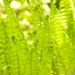 Beautiful fern macro in a garden — Stock Photo