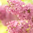 Spring lilac flowers — Stock Photo