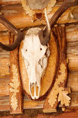 Mouflon skull trophy — Stock Photo