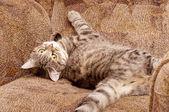 Scottish-straight gray beautiful cat — Stock Photo