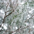 Stock Photo: Frozen thuja