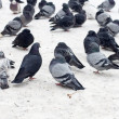 Group of pigeons on snow — Stock Photo #41714347
