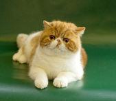 British Short hair cat portrait — Stock Photo