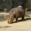 Baby hippopotamus — Stock Photo