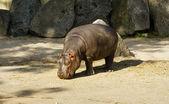 Baby flodhäst — Stockfoto