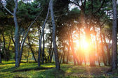 Pine forest with sunset — Stock Photo