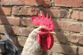 Rooster with red crest — Stock Photo