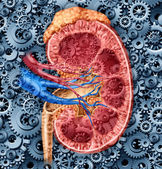 Human Kidney Function — Stock Photo