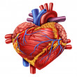 Human Heart Love — Stock Photo