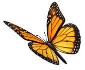 Monarchfalter, abgewinkelt — Stockfoto