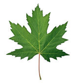 Green Maple Leaf — 图库照片