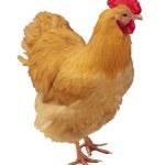 Chicken Hen Isolated — Stock Photo #24396471