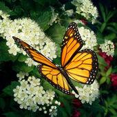 Monarca farfalla sui fiori — Foto Stock