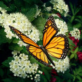 Monarch Butterfly On Flowers — Stock Photo