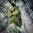 Cicada Bug — Stock Photo