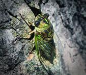 Cicada Bug — Stock Photo