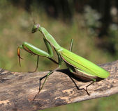 Praying Mantis — Stock Photo