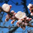 Spring Blossom — Stock Photo #40982433