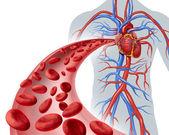 Circulação de sangue coração — Fotografia Stock