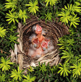 Chicks Hatchling Nest — Stock Photo