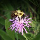 Bee in nature — Stock Photo