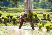 People on rice transplanting — Stock Photo