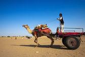 Cameleer 在山姆沙丘 — 图库照片