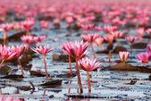 Waterlilies Lake — Stock Photo