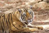 Tiger relaxing in natural habitat — Stock Photo