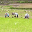 Farmer working in the rice field — Stock Photo #50948455