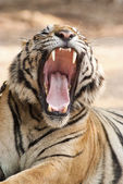 Growling tiger — Stock Photo
