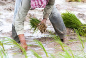 Cultivating rice — Stock Photo