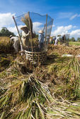 Rice threshed in the field — Stock Photo