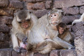 Monkey helping mother getting rid of fleas — Stock Photo