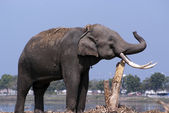 Elephant rubs its tusks against a tree trunk — Stock Photo