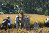 Rice Winnowing — Stock Photo