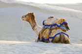 Camel in Thar Desert — Stockfoto
