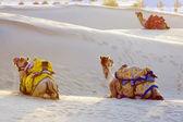Camels in Thar Desert — Стоковое фото