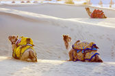 Camels in Thar Desert — Stock fotografie
