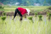 Rice transplanting in Vietnam — Stock Photo