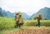 Farmer carries sheaves of rice stalks — Stock Photo