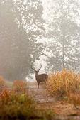 Eld's deer — Stock Photo